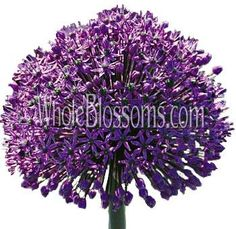 Get fresh and lovely Allium flowers from Whole Blossoms to enhance the beauty of a bridal bouquet. Allium wedding flowers are available in different colors such as purple, white, blue and pink colors which are used in floral decorations.  For more information visit: http://buyweddingflowersonline.weebly.com/blog/decorate-your-bridal-bouquet-with-beautiful-allium-flowers