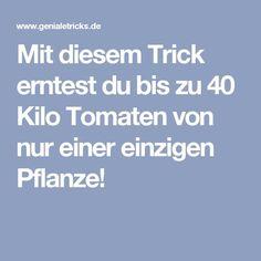 Mit diesem Trick erntest du bis zu 40 Kilo Tomaten von nur einer einzigen Pflanze!