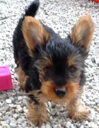 York Terror Puppy