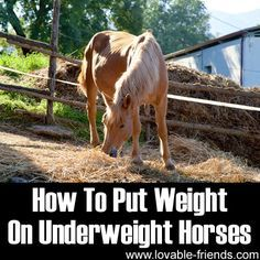 Some people believe severely underweight horses should gain it all back in two weeks or less. The best vets will tell you that's dangerous. It can lead to serious problems. Just like when people gain a lot of weight in a short time.
