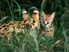 Serval Mom and Kitten (Johannes Wapelhorst)