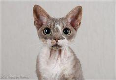 Devon Rex, the bat cat
