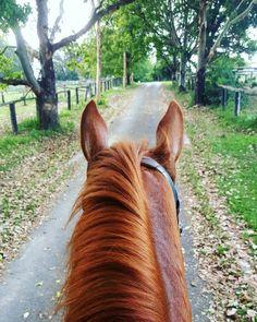 "half-halts: "" Fab lesson with my orange pony today! """