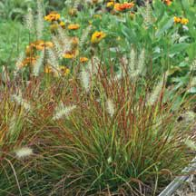 Burgandy Bunny Miniature Fountain Grass - would look nice in a big ceramic planter on the porch