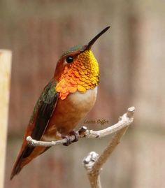 Male Allen's hummingbird.  My Hummingbird Heaven.