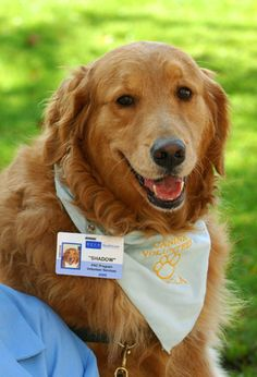 Moon Shadow the PAC Therapy Dog at UCLA Health System. Mood Shadow is a Golden Retriever and has 6 years of service.