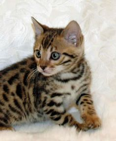 Sierragold bengal cat - i want one... i think they are beautiful.