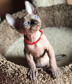 People love kittens because they are little and fluffy - but what's hiding underneath all that fur? This adorable collection of hairless Sphynx kittens prove that these creatures can be just as cute, if not slightly odd looking, without a luxurious mane. Spinx Cat, Fluffy Cat Breeds, Hairless Kitten, Baby Animals, Cute Animals, Exotic Cats, Unique Animals, Pet Care, Cats And Kittens