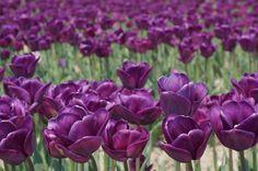 Tulip ' Murasakizuisho'