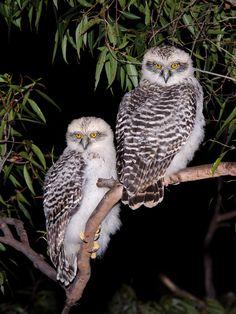 Powerful Owl (Ninox strenua) juveniles. Photo by Richard Jackson.