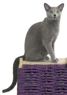 Gato Russsian Blue