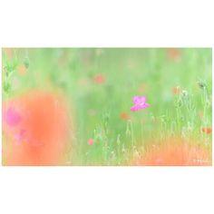 / sweet  #花をながめて #松戸フラワーライン #ポピー #シャーレーポピー #東京カメラ部 #花 #花の写真館 #ファインダー越しの私の世界 #はなまっぷ #IGersJP #team_jp_ #team_jp_flower #photooftheday #poppy #flowerstagram #500px #kf_gallery #loves_japan #flower #flowers #dreamyphoto #tokyocameraclub #floral_secrets #light_nikon #tv_flowers #flowermagic #flowerslovers #flowerpower #flowerstagram #d750 #松戸 gelinshop.com/...