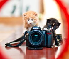 cute rescue adopted kittens playing with nikon camera