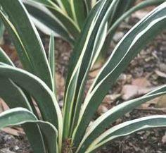 Rohdea japonica 'Fuji No Yuki' 1 form