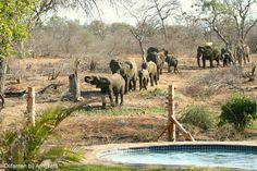 Fotoalbum ZuidAfrika / Zuid Afrika / Afrika | Wereldspotter.nl op de voorgrond het zwembad van Amukela. Hoe cool is dat zwemmen en tegelijk naar de olifanten kijken