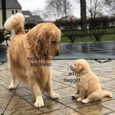 14 Funny Golden Retriever Memes That Will Make You Fall In Love With Them Cute Animal Memes, Cute Funny Animals, Funny Animal Pictures, Cute Baby Animals, Funny Cute, Animal Pics, Cute Puppy Pictures, Animal Quotes, Funny Dog Memes