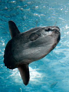 https://flic.kr/p/aDnFYy | Mola Mola (Ocean Sunfish) | Oceanarium, Lisbon  The ocean sunfish, Mola mola, or common mola, is the heaviest known bony fish in the world. It has an average adult weight of 1,000 kg (2,200 lb). The species is native to tropical and temperate waters around the globe. It resembles a fish head with a tail, and its main body is flattened laterally.  Dutch:  De maanvis of klompvis (Mola mola) is de zwaarst bekende beenvis. Een volwassen dier weegt gemiddeld 1 ton, en…