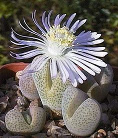 The genus Dinteranthus occurs in the northwestern parts of the Northern Cape Provice, South Africa and the southeastern parts of Namibia. The small sphaeroid bodies of these plants resemble other rock-like mesembs such as Lithops. The leaf pairs are separated by a deep cleft from which the flower arises.