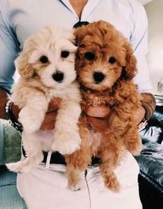 dogs and puppies Deux petits chiots qui pourraient tre pris pour des frres. Super Cute Puppies, Baby Animals Super Cute, Cute Baby Dogs, Cute Little Puppies, Cute Dogs And Puppies, Cute Little Animals, Cute Funny Animals, Cute Babies, Doggies