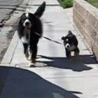 Our 9 year old Bernese Mountain Dog walks our new 11wk old puppy for the first time...