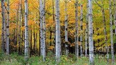 A grove a birch trees proudly display their fall color in Peninsula State Park, Fish Creek, WI