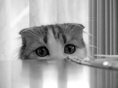 scottish broths | cute scottish fold kitten looking cat pic