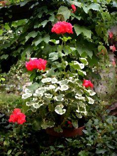 Non amo il rosso in giardino ed i pelargoni mi piacciono bianchi con i fiori doppi che fanno pensare a roselline sbocciate tutte insieme come sorelle....Continua a leggere sul blog Un Giardino In Diretta - W l'italia! - giardinoindiretta.blogspot.com/2011/08/w-litalia.html