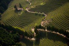 Tea gardens at Boseong, Jeollanam-do Province, South Korea (34°47' N, 127°04'…