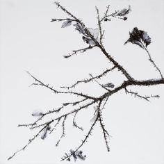 hermelando b m: Half-naked branches. Ink on board. 25 x 25 cm