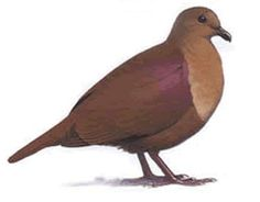 Thick-Billed Ground Dove Extinct in 1927