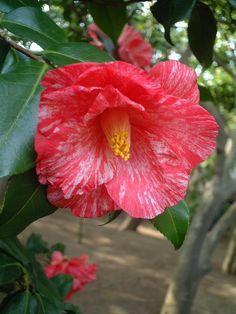 Camellia japonica 'Sôshi-arai' (Japan, before 1841)