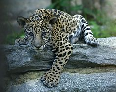 3 week old baby Jaguar