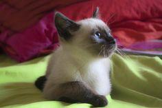 siamese baby kitten