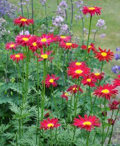 TANACETUM coccineum 'Duro' - Rosenkrave, farve: rosarød, lysforhold: sol, højde: 80 cm, blomstring: juni - juli, velegnet til snit.