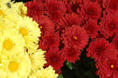 """How do you grow Chrysanthemums? Why do people """"pinch"""" them? How are they best used in the landscape? Find out here: http://landscaping.about.com/od/landscapecolor/p/chrysanthemums.htm"""