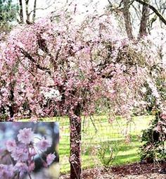 Weeping Yoshino Cherry Tree.  Another tree that is sought by many people. How…
