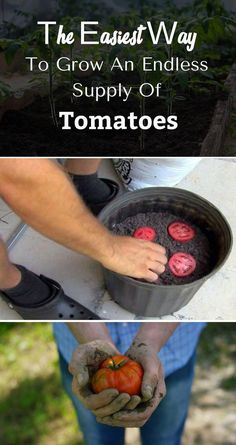 Grow Tomatoes Indoors This incredibly neat idea could help you grow an endless supply of juicy tomatoes every time. - This incredibly neat idea could help you grow an endless supply of juicy tomatoes every time. Growing Tomatoes Indoors, Growing Tomatoes From Seed, Growing Tomato Plants, Varieties Of Tomatoes, Growing Tomatoes In Containers, Growing Vegetables, Tomato Seedlings, How To Grow Tomatoes, Tomato Pruning