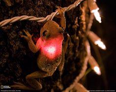 Frog & the christmas light