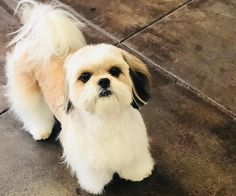 Shorty's new look. #lambcut #doghaircut #grooming #petgrooming #petspa #shihtzu #dogs #doggies #special #cute #baby #poochies #dtla #losangeles #usc #koreatown #petsalon #deslyspg #deslyspetgrooming #loveit #sweet #cutie #mybaby #santamonica #venice