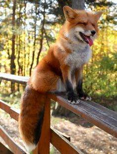 roter Fuchs - Famous Last Words Cute Little Animals, Cute Funny Animals, Nature Animals, Animals And Pets, Wild Animals, Fuchs Baby, Fuchs Illustration, Fox Pictures, Pet Fox
