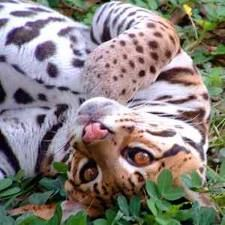 """This is an ocelot. It looks cuddly, but I would not attempt to pet him. How this small """"cat"""" survives in the jungle is hard to believe, but they do. Crazy Cat Lady, Crazy Cats, Big Cats, Cool Cats, Beautiful Cats, Animals Beautiful, Animals Amazing, Small Wild Cats, Nature"""