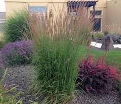 Image result for fountain grass