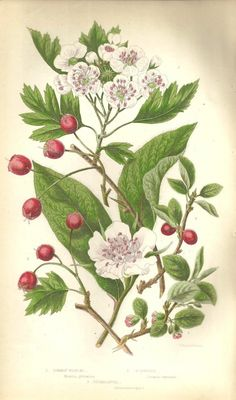 Common Medlar, Hawthorn & Cotoneaster by Anne Pratt c.1860