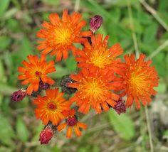Foto/billede af Pomerans-høgeurt (Pilosella aurantiaca ssp. aurantiaca) Red Bedding, Beautiful Flowers, Planters, Gardening, Orange, Google, Lawn And Garden, Pretty Flowers, Plant