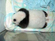 Sleeping Panda Panda Panda #Panda
