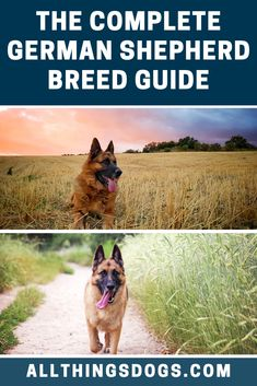 The Complete German Shepherd Breed Guide German Shepherd Breeds, German Shepherds, German Dogs, Guy Names, Doggies, Dog Breeds, Your Dog, Germany, Pets