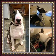 Handsome Tate is settling into his foster home & new to RCBTR! Stay tuned for more info on Tate as we get to know him better.. - See more at: http://www.rcbtr.org/available-bull-terriers.html#sthash.jna1yHMH.dpuf