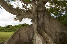 400 Year Old Ceiba Tree ~  West of the airport on the road to Green Beach lies one of Vieques' natural wonders. The Ceiba is the national tree of Puerto Rico.