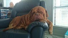 Sleeping Dogue De Bordeaux #ddb