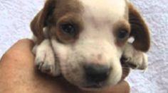 【ヤバイ!キュン死する】萌え〜♪超かわいい♪イングリッシュポインターの赤ちゃん(Cute puppy /귀여운 강아지 / chiot mign...